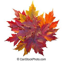 foglie, mucchio, isolato, acero, cadere