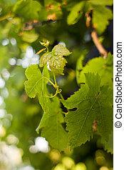 foglie, nuovo, uva