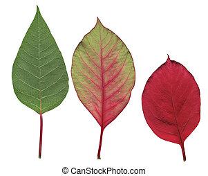 foglie, stella di natale