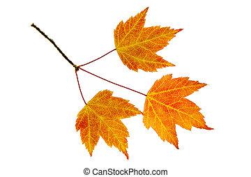 foglie, trio, acero, cadere