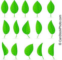 foglie, vario, forme, verde, tipi