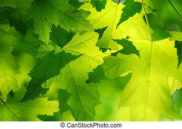 foglie, verde, acero