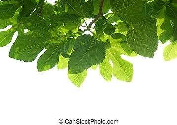 foglie, verde, ramo, fig-tree