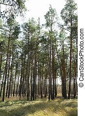 foresta, erba, testo, pino, bello, spazio, albero