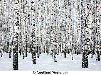 foresta, gennaio, soleggiato, inverno, betulla