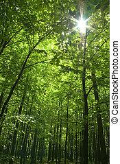 foresta, sole