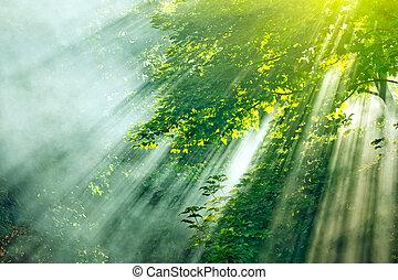 foschia, foresta, luce sole