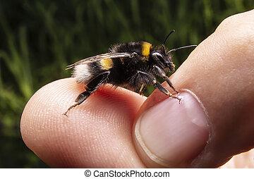 foto, bombo, insect., colpo, esseri umani, mano., fine, macro, bumblebee.