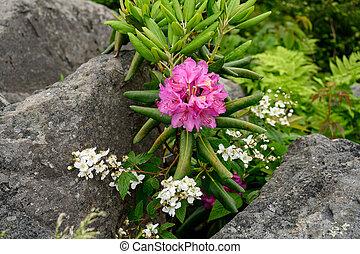 fra, rododendro, ciottoli, fiori