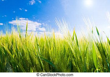 frumento, agricoltura, field.