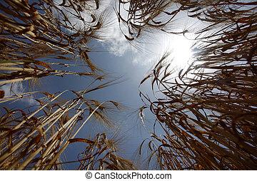 frumento, prato, natura, cibo, campo, crescente, agricoltura