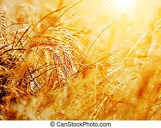 frumento, soleggiato, campo, fondo, close-up., agricoltura