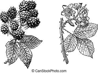 frutta, vendemmia, fiore, mora, engraving.