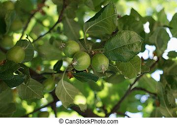 frutteti, mela