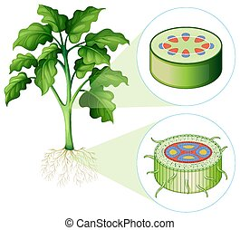 gambo, radice, diagramma, esposizione, cellula