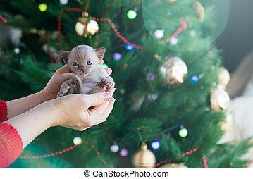 gattino, fondo, albero natale, birmano, mani, beige
