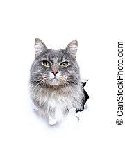 gatto, spazio, fuori, bianco, strappato, carino, dall'aspetto, copia, buco, carta