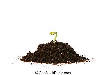 germogliando, piantato, seme