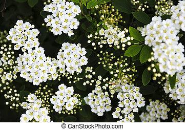 ghirlanda, nuziale, fiori, arbusto