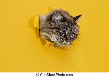giallo, paper., gatto, occhiate, buco, lanuginoso, strappato, fuori