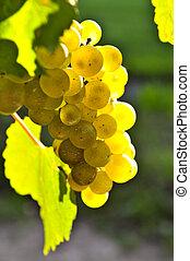 giallo, uva