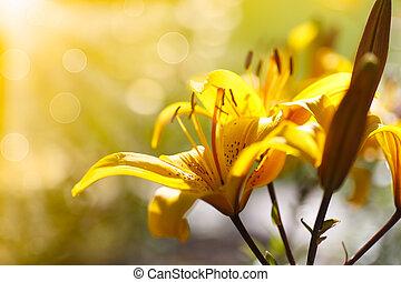 gigli giorno, soleggiato, azzurramento, giallo