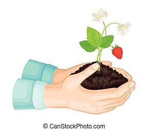 giovane, fragola, suolo, vettore, illustrazione, pianta, crescente, esso, mani, presa a terra
