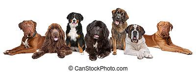 grande, grande, gruppo, cani