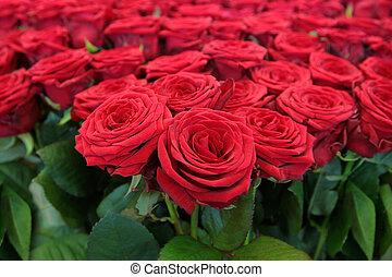 grande, mazzo, rose rosse