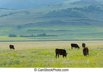 grass-fed, bestiame