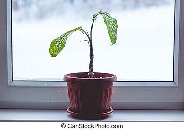 grows., riceve, leva piedi, luce, là, neve, esso, cold., dietro, riscaldare, lotto, houseplant, suolo