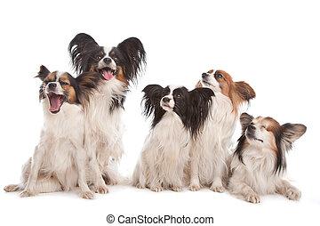 gruppo, papillon, cinque, cani
