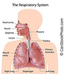 identificato, sistema respiratorio
