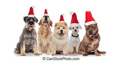 il portare, gruppo, cappelli, cani, cinque, santa, ansimare
