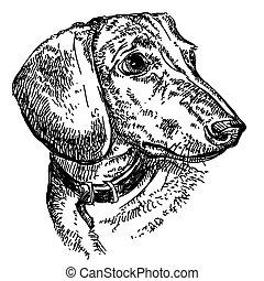 illustrazione, dachshund, vettore, ritratto, mano, disegno