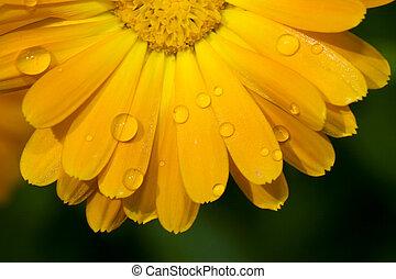 immagine, fiore, macro, giallo, gocce acqua