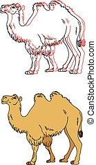 immagine, vettore, cammello
