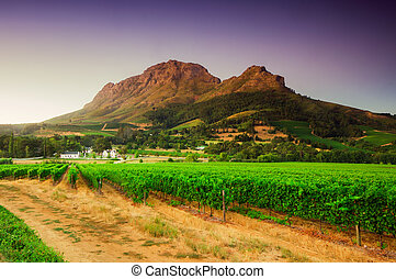 immagine, vigneto, sud, africa., stellenbosch, paesaggio