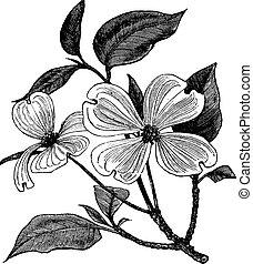 incisione, cornus, vendemmia, florida, dogwood, fioritura, o