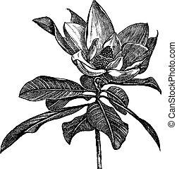 incisione, grandiflora, vendemmia, magnolia, meridionale, o