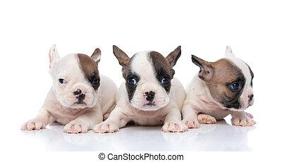 indicazione, adorabile, bulldog, cani, tre, dall'aspetto, differente, francese