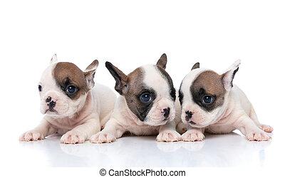 indicazione, bulldog, cani, dall'aspetto, tre, differente, francese