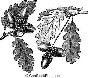 inglese, incisione, quercia, vendemmia