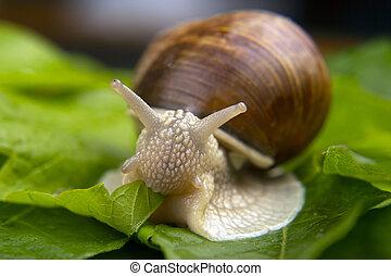 invertebrate., strisciare, elica, buongustaio, uva, delicatezza, mollusco, lumaca, carne, leaves., pomatia., verde, cibo.