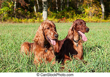 irlandese, cani, setter