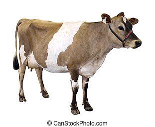 jersey, cavezza, mucca