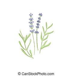 lavanda, aquarelle., lavender., acquarello, vettore, illustration., fondo, bianco