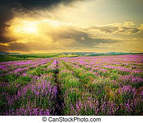 lavender., prato