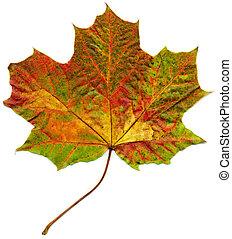 leaf., isolato, acero, cadere