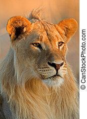 leone, maschio giovane